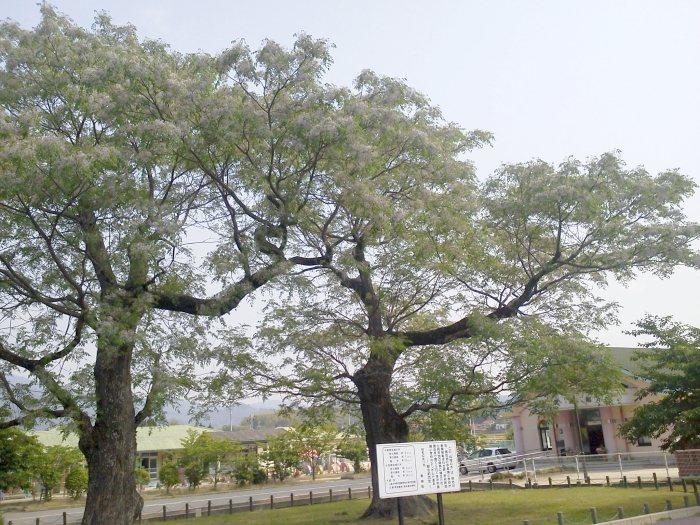 栴檀2.JPG